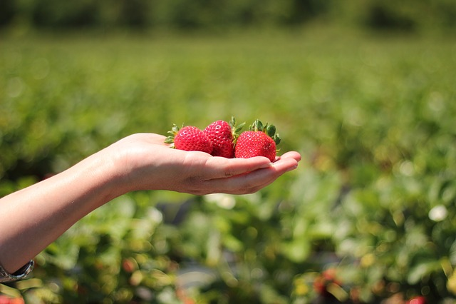 Picture of a hand holding strawberries grown using organic fertilizers